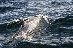 Risso's dolphin - A Risso's dolphin swims off Morro Bay