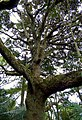 Roble (Quercus humboldtii) - Flickr - Alejandro Bayer (3).jpg
