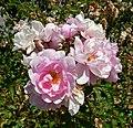 Rosa Lillian Gibson 1.jpg