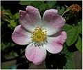 Rosa glauca inflorescence (39).jpg