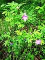 Rosa majalis plant (01).jpg
