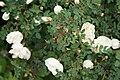 Rosa spinosissima in Minsk 3.jpg