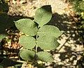 Rosa tomentosa leaf (01).jpg