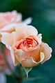 Rose, Charles Austin - Flickr - nekonomania (1).jpg