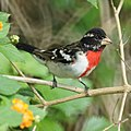 Rose-breasted Grosbeak (7093900369).jpg