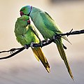 Rose-ringed Parakeets (Male & Female)- Foreplay at Hodal I Picture 0032.jpg