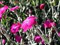 Rose campion (747889024).jpg