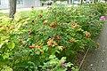Rose hips at Grove Technology Park - geograph.org.uk - 971038.jpg