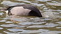Rosy-billed Pochard (19330370085).jpg