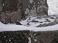 Rouge-gorge familier (Erithacus rubecula).jpg