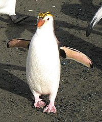 RoyalPenguins2.JPG