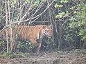 Королевский бенгальский тигр идет по мангровому острову в Сундарбансе 3.jpg