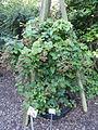 Rubus rudis - Botanischer Garten, Frankfurt am Main - DSC02460.JPG