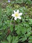 Ruhland, Grenzstr. 3, Weißes Buschwindröschen im Garten, blühende Pflanze, Frühling, 06.jpg