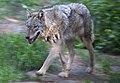 Running Wolf (5696469677).jpg