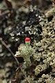 Rursee 14.04.2017 Cladonia floerkeana (33485558573).jpg