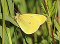 SULPHUR, WESTERN (Colias occidentalis) (6-25-2018) grant co, or -02 (43276773212).jpg