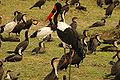 Saddlebilled stork.jpg