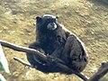 Saguinus fuscicollis zoo de Cali.jpg