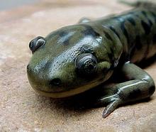 the head of a tiger salamander