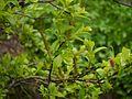 Salix ¿ calyculata - wallichiana ? (7837943734).jpg