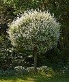 Salix integra Hakuro A.jpg