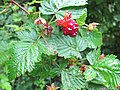 Salmonberry with leaves.jpg