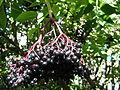 Sambucus nigra fruit kpjas 26082005 1.jpg