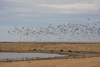 Grulla National Wildlife Refuge - Image: Sandhill Crane Bailey County Texas 2009
