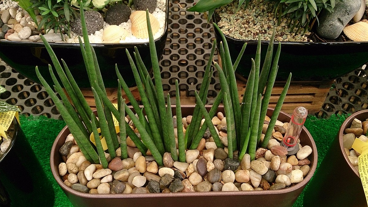 Sansevieria Bacularis Wikispecies