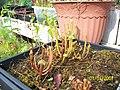 Sarracenia ((oreophila x flava) x leucophylla) x open-pollinated seedlings (5109170488).jpg
