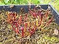 Sarracenia (alata x flava) x open-pollinated seedlings (5109166570).jpg