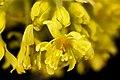 Sassafras albidum, Sassafras staminate flowers, Howard County, MD, Helen Lowe Metzman 2017-07-25-20.19 (24427586417).jpg