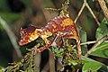 Satanic leaf-tailed gecko (Uroplatus phantasticus) Ranomafana 2.jpg