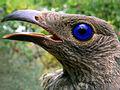 Satin bowerbird.jpg