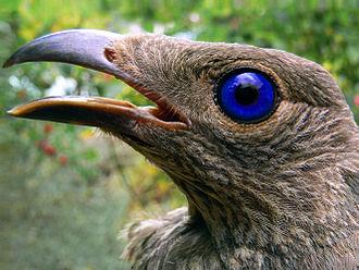 Bowerbird - Female satin bowerbird