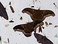 Saturniid Moths (Rhescyntis hippodamia) and other bugs ... (28067887979).jpg