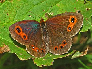 Scotch argus Species of butterfly