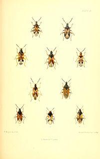 <i>Anthocoris nemoralis</i> species of insect