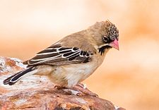 Scaly-feathered Weaver 2.jpg