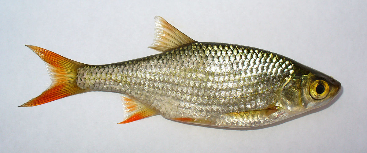 Rotfeder wikipedia for Gartenteichfische arten