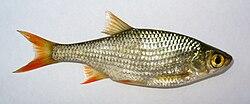 Scardinius erythropthalmus 2009 G1.jpg