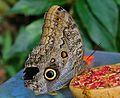 Schmetterling (9328473911).jpg