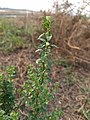 Scoparia dulcis, Kallurukki, Meenangani, licorice weed, goatweed, scoparia-weed .jpg