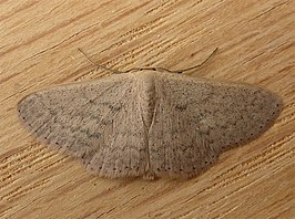 Scopula optivata.jpg