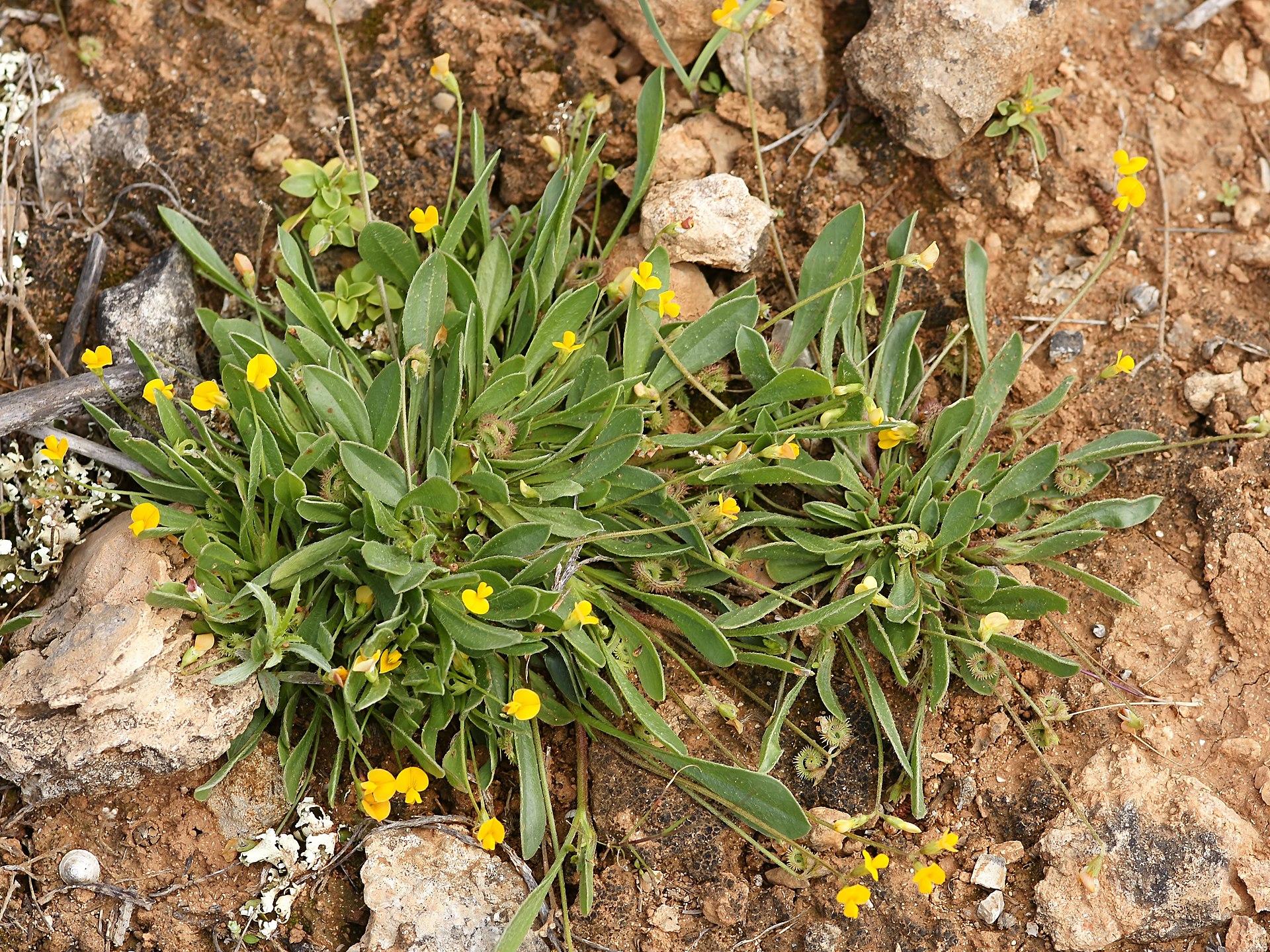 Scorpiurus muricatus L.  English: Prickly Caterpillar near Cala Ses Salinas, Mallorca. Français : Pied de queue de scorpion. Photo prise près de la Cala Ses Salinas, à Majorque.
