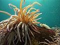 Sea anemone in Acquario dell'Elba.jpg