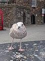 Seagull (21927769789).jpg