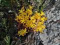 Sedum lanceolatum Upper Ruby River Montana 04.JPG