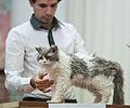 Selkirk rex longhair FINTICAt cat show Helsinki 2013-11-24.JPG